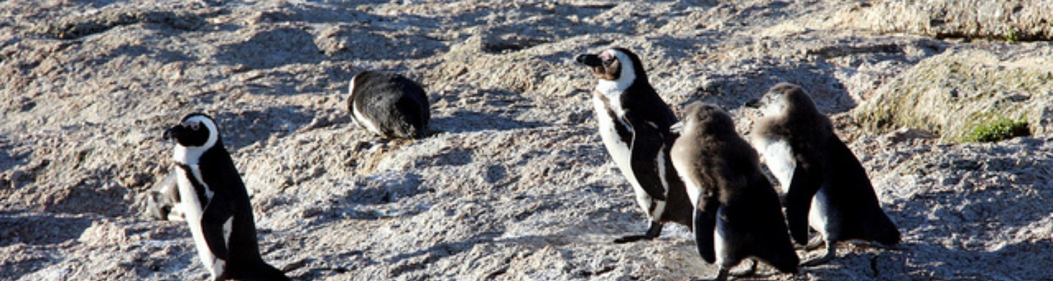 Boulders African Penguins Colony